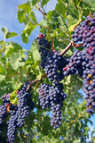Uvas del Merlot en viñedo foto de archivo libre de regalías