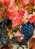 Uvas del otoño Foto de archivo libre de regalías