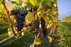 Uvas del pinot negro Imagen de archivo