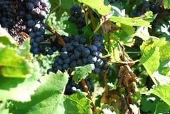 Uvas del viñedo Fotografía de archivo