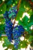 Uvas del viñedo Imagen de archivo libre de regalías
