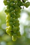 Uvas del viñedo Imágenes de archivo libres de regalías