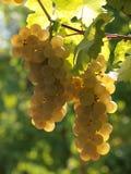 Uvas del vino blanco Fotografía de archivo