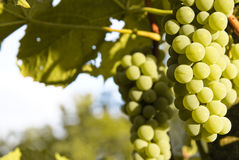 Uvas del vino blanco Fotos de archivo libres de regalías
