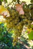 Uvas del vino blanco Imágenes de archivo libres de regalías