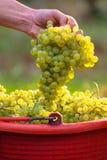 Uvas del vino blanco en cubos rojos Fotografía de archivo libre de regalías