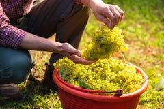 Uvas del vino blanco en cubos rojos Imagen de archivo