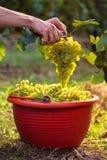 Uvas del vino blanco en cubos rojos Imagen de archivo libre de regalías