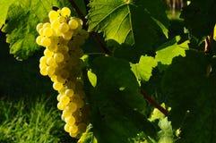 Uvas del vino blanco en un Wineyards en otoño en Toscana, Chianti, Italia foto de archivo libre de regalías