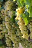Uvas del vino blanco en viñedo Fotografía de archivo