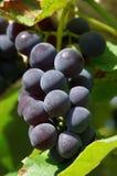Uvas del vino rojo fotografía de archivo