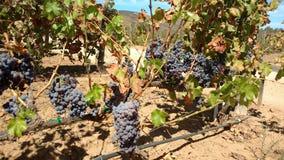 Uvas dell'uva Immagine Stock Libera da Diritti