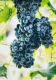 Uvas do azul do vinho Fotografia de Stock