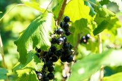 Uvas do corinto preto em um arbusto Foto de Stock Royalty Free