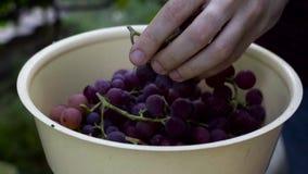 Uvas do corte do homem durante o processo de colheita Movimento lento filme
