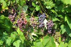 Uvas do fruto na planta Fotografia de Stock