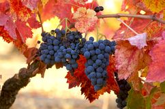 Uvas do Merlot Foto de Stock