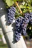 Uvas do Merlot no vinhedo imagem de stock