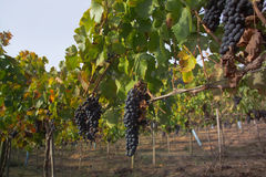 Uvas do Merlot no vinhedo Imagens de Stock