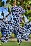 Uvas do Merlot no vinhedo HDR Fotografia de Stock