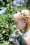Uvas-do-monte da colheita Fotografia de Stock Royalty Free