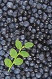 Uvas-do-monte maduras Imagem de Stock