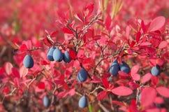 Uvas-do-monte maduras Foto de Stock