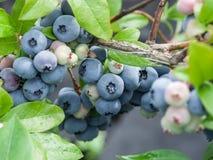 Uvas-do-monte maduras fotografia de stock