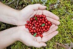 Uvas-do-monte vermelhas Foto de Stock Royalty Free
