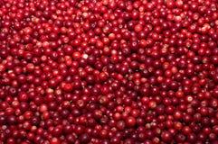 Uvas-do-monte vermelhas. Imagens de Stock