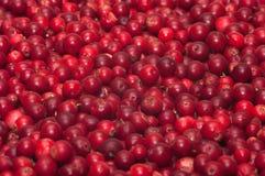 Uvas-do-monte vermelhas. Imagens de Stock Royalty Free