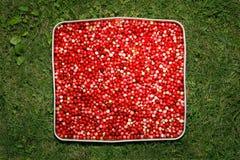 Uvas-do-monte vermelhas na grama Fotografia de Stock Royalty Free