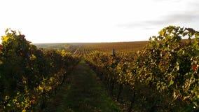 Uvas do outono na manhã Foto de Stock Royalty Free