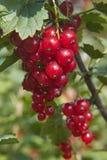 Uvas do Siberian dos corintos vermelhos da escova Foto de Stock