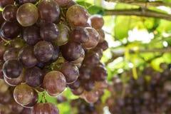 Uvas do vinhedo Imagem de Stock