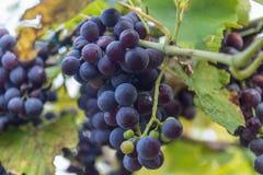 Uvas do vinho tinto Fotos de Stock