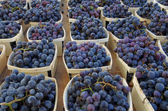 Uvas do vinho tinto Foto de Stock Royalty Free