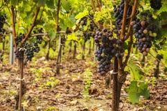 Uvas do vinho tinto nas videiras Imagens de Stock Royalty Free