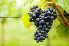 Uvas do vinho tinto no vinhedo Fotos de Stock