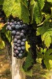 Uvas do vinho tinto que crescem no campo Fotografia de Stock Royalty Free