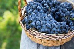 Uvas do vinho tinto uvas escuras, uvas azuis, uvas para vinho tomar sol Fotografia de Stock Royalty Free