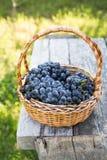 Uvas do vinho tinto uvas escuras, uvas azuis, uvas para vinho tomar sol Imagem de Stock Royalty Free