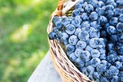 Uvas do vinho tinto uvas escuras, uvas azuis, uvas para vinho tomar sol Fotos de Stock Royalty Free