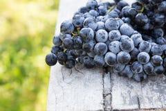 Uvas do vinho tinto uvas escuras, uvas azuis, uvas para vinho tomar sol Fotografia de Stock