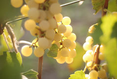 Uvas douradas Fotos de Stock Royalty Free