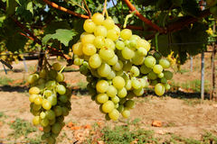 Uvas dulces y saborosas antes de la cosecha Fotografía de archivo libre de regalías