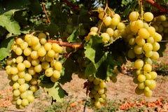 Uvas dulces y saborosas antes de la cosecha Fotos de archivo