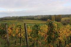 Uvas durante o outono em St Emilion Foto de Stock Royalty Free