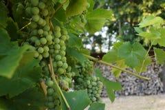 Uvas em meu jardim na frente de uma parede feita da madeira Imagens de Stock Royalty Free
