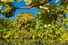Uvas em um vinhedo Fotos de Stock